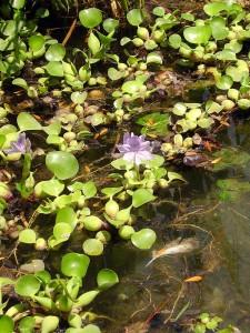 Японский сад в Ташкенте сиреневый цветок