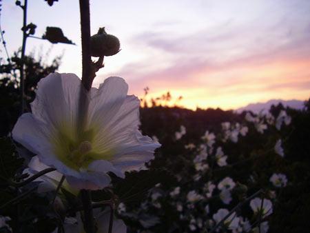 Мальва белая, закат