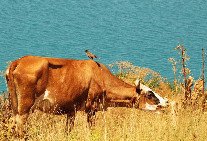 Корова вода птица