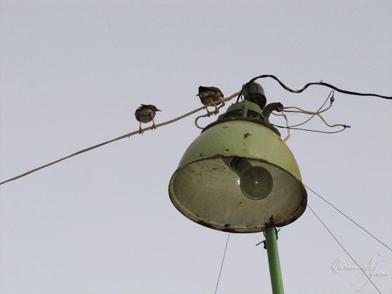 Старый фонарь и скворцы