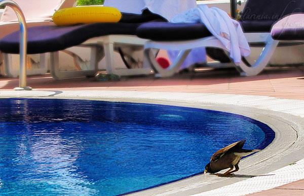 Скворец пьет из бассейна