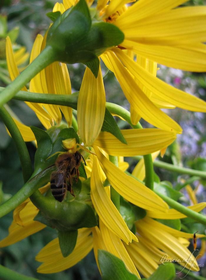 желтый паук ест пчелу