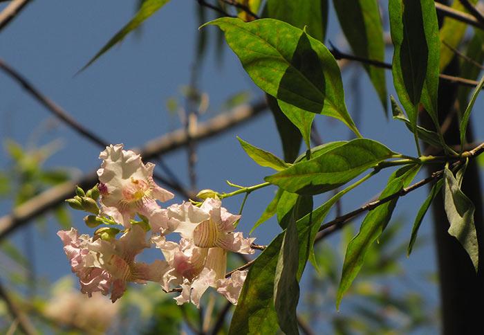 Читальпа Ташкентская цветение