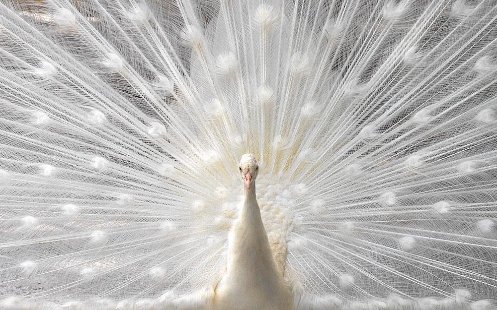 Белый павлин фото